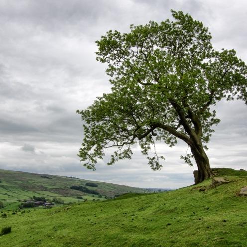 Leaning tree, Peak District